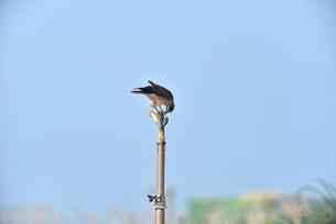 野鳥/鷹の写真素材 [FYI03829764]