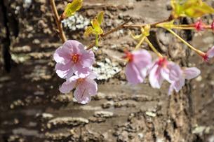 桜の花の写真素材 [FYI03829915]