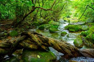 西表島のジャングルの写真素材 [FYI03829949]