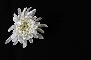 菊の花首の写真素材 [FYI03829970]