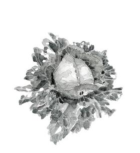 虫食いキャベツ 有機野菜 水墨画風のイラスト素材 [FYI03830243]