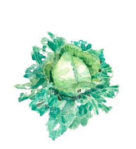 水滴の付いた虫食いキャベツ 有機野菜 水彩のイラスト素材 [FYI03830244]