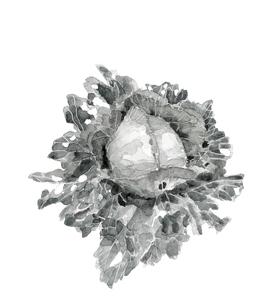 水滴の付いた虫食いキャベツ 有機野菜 水墨画風 モノトーンのイラスト素材 [FYI03830245]
