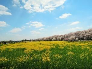 幸手桜まつり 菜の花と桜の競演の写真素材 [FYI03830531]