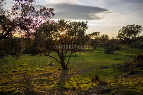 誰もいない草原の大きな木に括られて揺れるブランコが日没前の太陽の光を受ける光景の写真素材 [FYI03830830]
