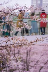 満開の桜と橋の上から見物する人々の写真素材 [FYI03830863]