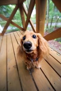 見つめる犬の写真素材 [FYI03831397]