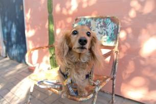 見つめる犬の写真素材 [FYI03831399]