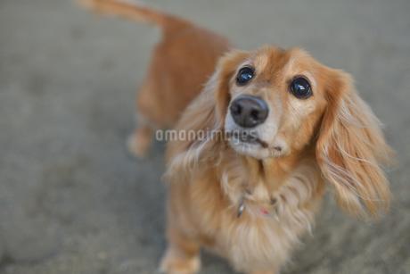 見つめる犬の写真素材 [FYI03831402]