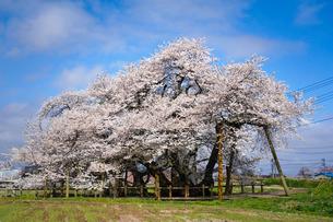 青空の石部桜の写真素材 [FYI03831419]