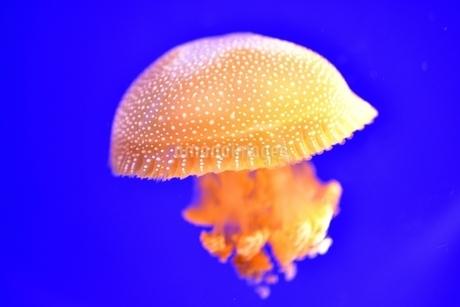 クラゲの写真素材 [FYI03831451]