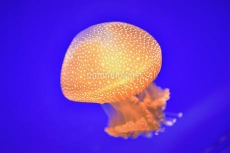 クラゲの写真素材 [FYI03831452]