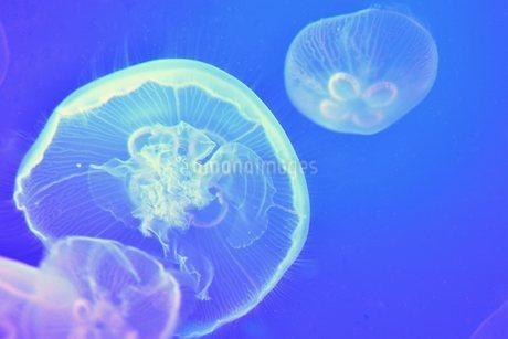 クラゲの写真素材 [FYI03831456]