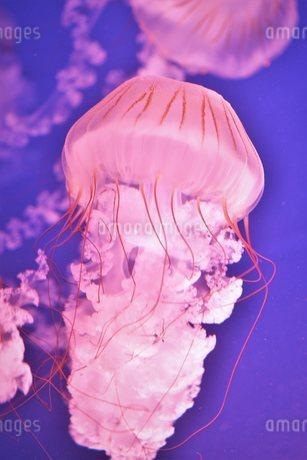 クラゲの写真素材 [FYI03831457]