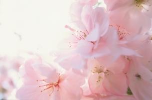 桜の花のアップの写真素材 [FYI03831608]