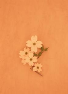 Cornus floridaの写真素材 [FYI03832748]