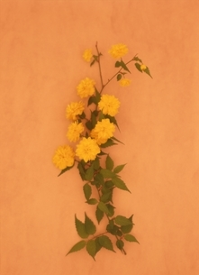 Japanese Roseの写真素材 [FYI03832755]