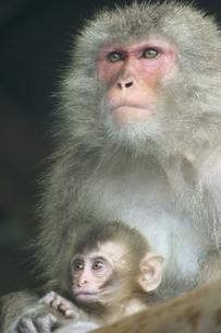 子供を抱く日本猿 波勝崎 伊豆の写真素材 [FYI03832798]