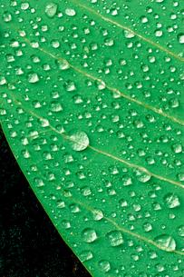 新緑と水滴の写真素材 [FYI03832918]