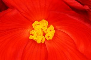 球根ベゴニアの花の写真素材 [FYI03833143]