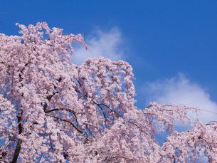 京都平野神社の桜の写真素材 [FYI03833152]