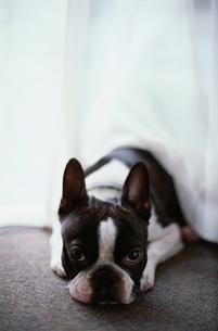 床に伏せる犬(ボストンテリア)の写真素材 [FYI03833356]