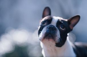 見上げる犬(ボストンテリア)の写真素材 [FYI03833357]
