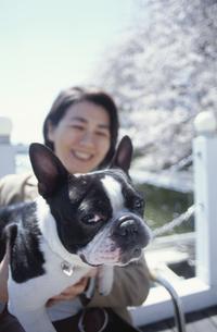 ボストンテリアを抱える日本人中高年女性と桜並木の写真素材 [FYI03833477]