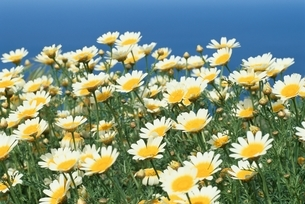 花畑    サントリーニ島 ギリシアの写真素材 [FYI03833627]