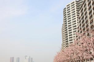河原に咲く桜と高層マンション群の写真素材 [FYI03834295]