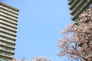 河原に咲く桜と高層マンション群の写真素材 [FYI03834297]