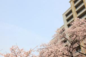 河原に咲く桜と高層マンション群の写真素材 [FYI03834300]
