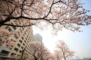 河原に咲く桜と高層マンション群の写真素材 [FYI03834303]