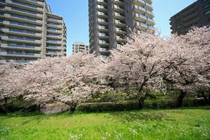 河原に咲く桜と高層マンション群の写真素材 [FYI03834309]