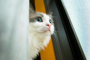 窓の外を見る猫の写真素材 [FYI03834486]