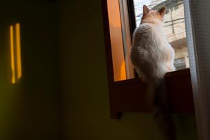 外を見る猫の写真素材 [FYI03834504]