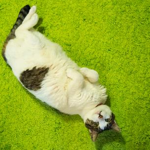 サバトラの猫の写真素材 [FYI03834505]