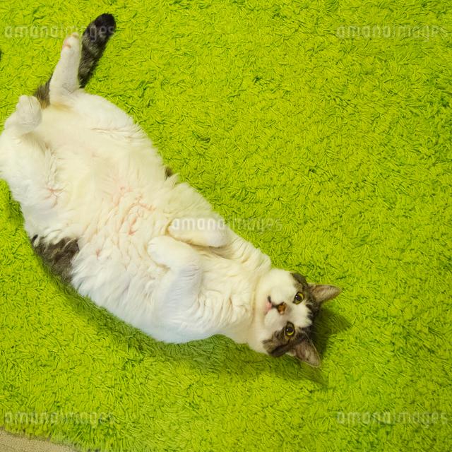 サバトラの猫の写真素材 [FYI03834506]