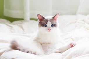 足を開いてる子猫の写真素材 [FYI03834517]
