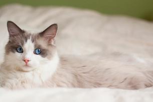 見つめる子猫の写真素材 [FYI03834518]