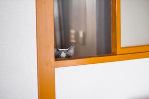 覗く猫の写真素材 [FYI03834521]