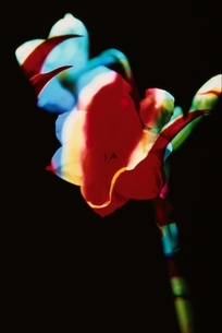 スイセンとグロリオーサの花 合成の写真素材 [FYI03835125]