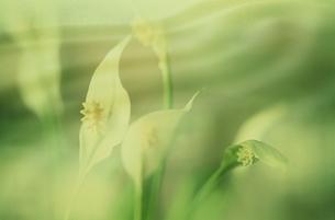 サトイモ科スパティフィラムの花の写真素材 [FYI03835139]