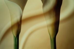 2輪のサトイモ科カラーの花の写真素材 [FYI03835141]