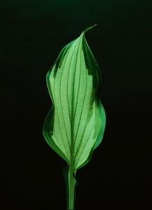 葉脈のある葉の写真素材 [FYI03835157]