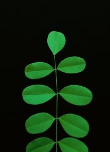 葉と茎の写真素材 [FYI03835160]