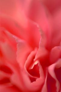 赤い花びら(カーネーション)の写真素材 [FYI03835214]