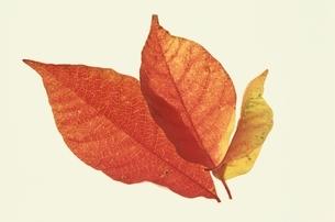 3枚の重なる紅葉した葉 秋の写真素材 [FYI03835222]