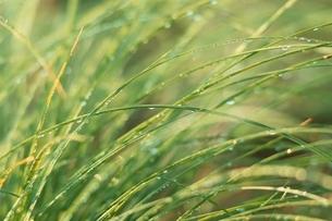 葉と朝露 8月の写真素材 [FYI03837012]
