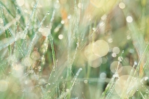 茎と朝露 8月の写真素材 [FYI03837014]